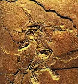 Archeaopteryx fossiel