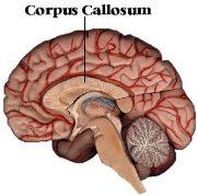 Corpus callosum: bundel zenuwvezels die communicatie tussen de hersenhelften mogelijk maakt.