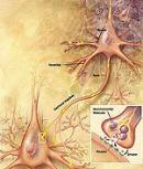 Neuraal netwerk, organisme bestudeerd binnen de cognitieve neurologie.
