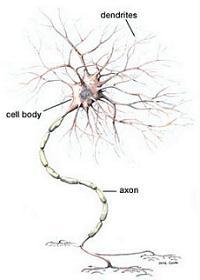 Zenuwcel met dendrieten en zenuwvezel die electrische stroompjes doorgeeft.